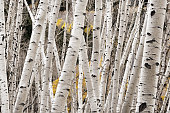 A photograph of aspen tree trunks in the autumn