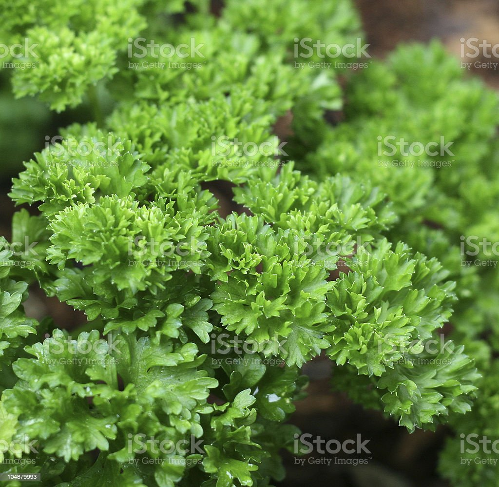Photograph of green parsley set in a bunch royalty-free stock photo