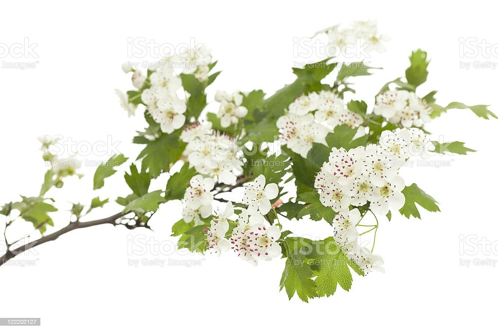 Photograph of hawthorn branch in bloom on white stock photo