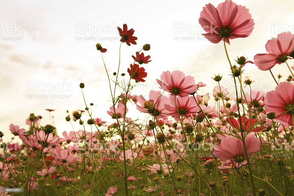 A photograph of some cosmos flowers against a sunset stock photo