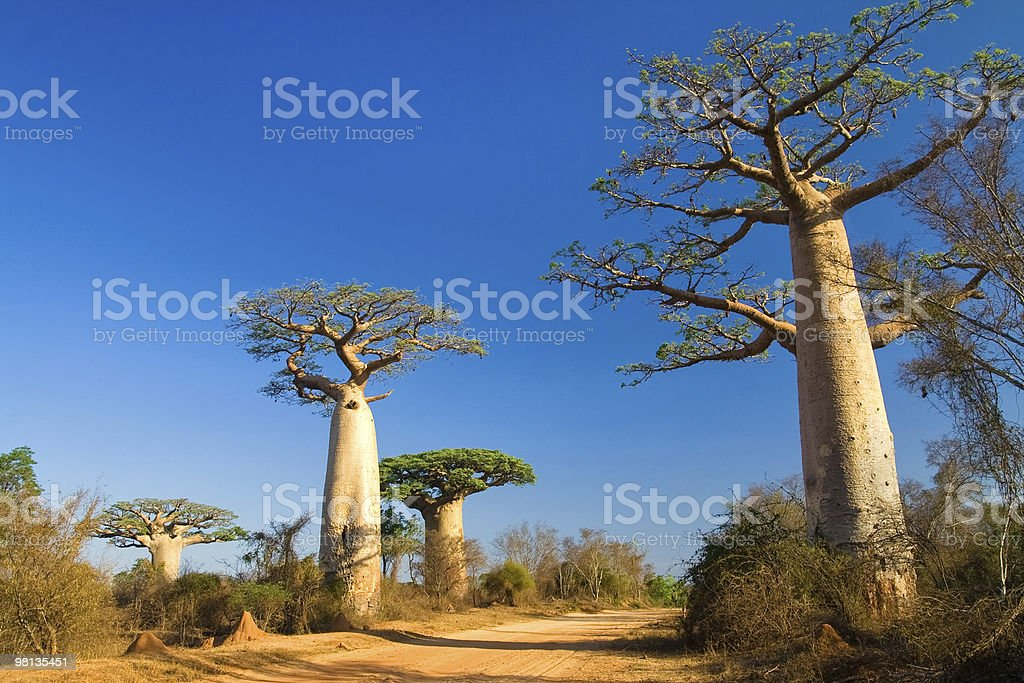 Photograph of the trees in Baobabs, Madagascar stock photo