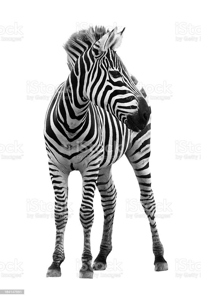 Photograph of young male zebra isolated on white background stock photo