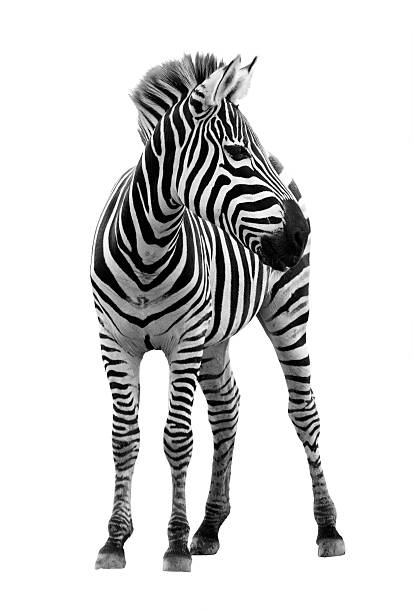 photograph of young male zebra isolated on white background - zebra stock photos and pictures