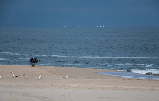 A photographer on the Jersey shore beach photographing a Ring-Billed Gull stock photo