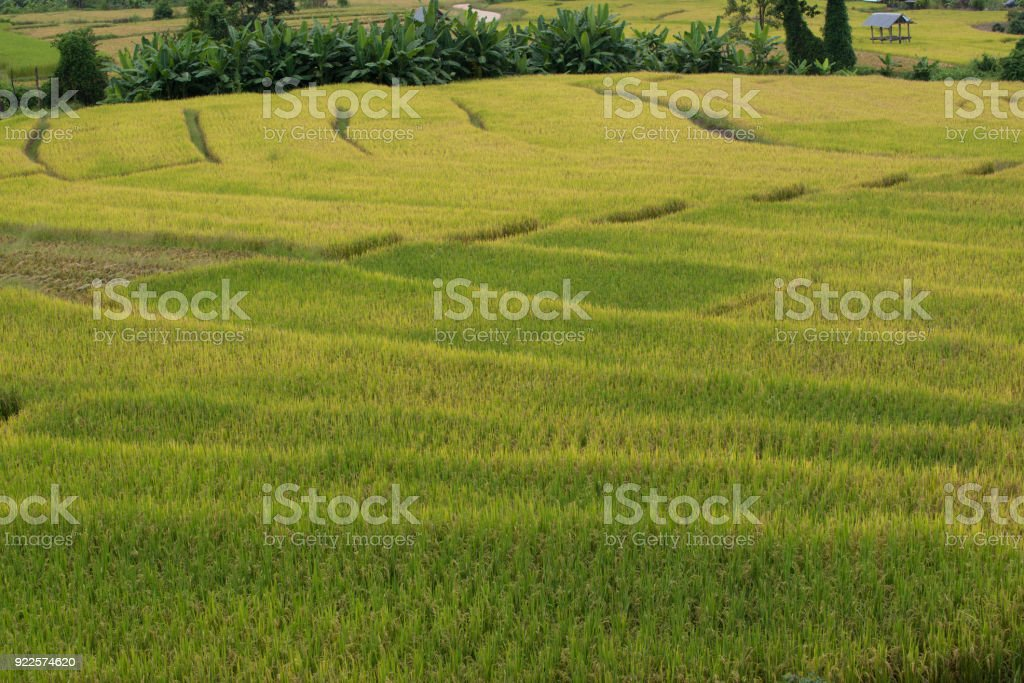 A Photographer take a caption of beautiful step of rice teerace during sunset in Chiangmai, Thailand stock photo