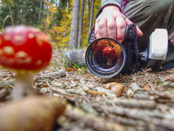 Photographer take picture of mushroom fly agaric red in leaves stock photo