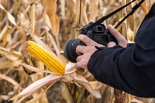 Photographer Taking Picture of Corn Cob in the Field