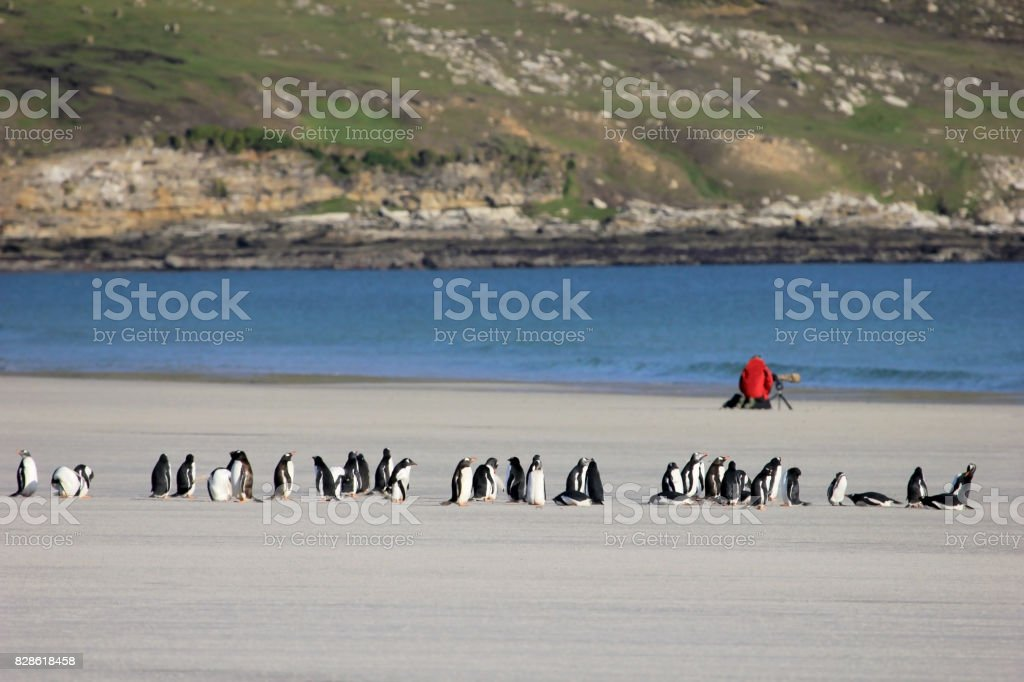 Photographer taking pictures of Gentoo penguins, Saunders, Falkland Islands stock photo