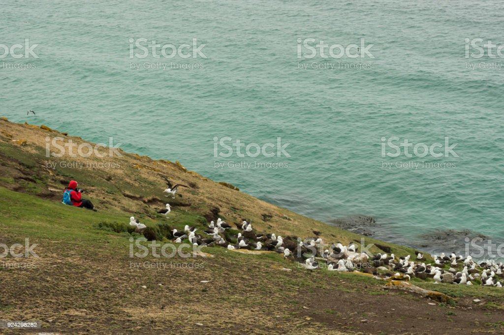 Fotografiar una colonia de albatros de ceja negra - foto de stock