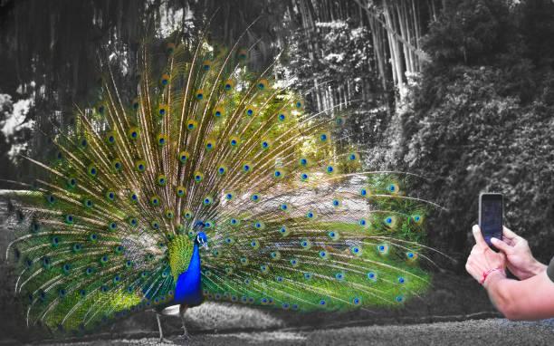 fotografieren vögel pfau - pfau bilder stock-fotos und bilder