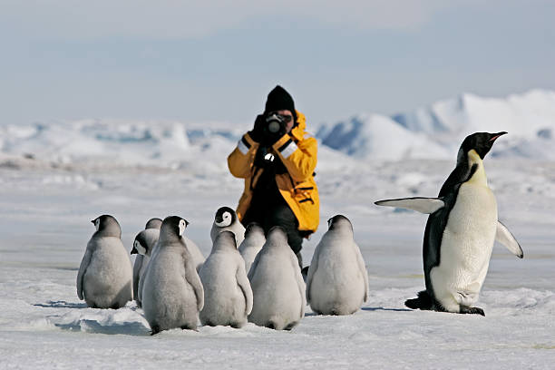 Photographing Emperor Penguins Photographer dressed in bright yellow jacket taking pictures of a group of Emperor penguin adult and chicks. Antarctica. emperor penguin stock pictures, royalty-free photos & images