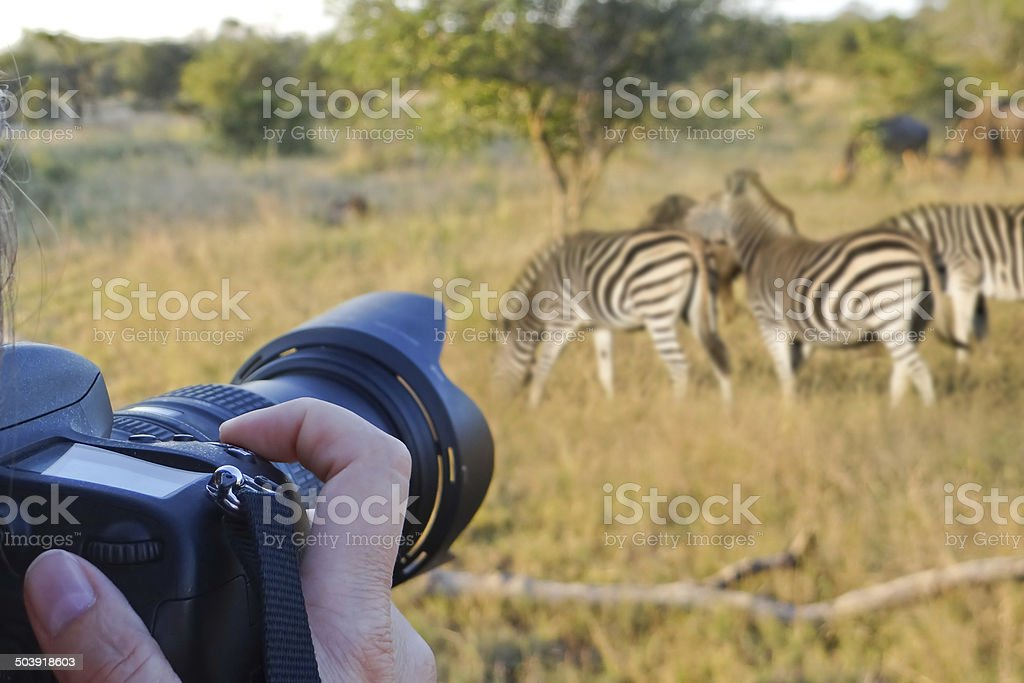 Photographing wildlife, South Africa stock photo