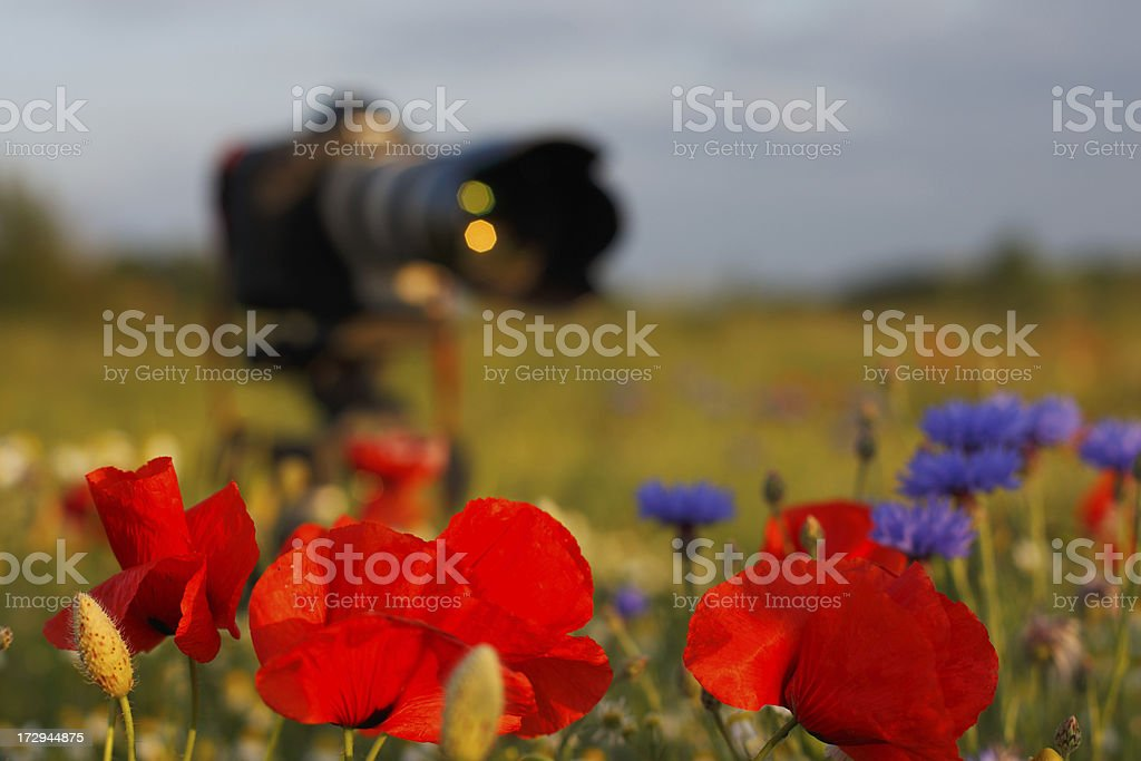 Photography Equipment placed in a poppy field royalty-free stock photo