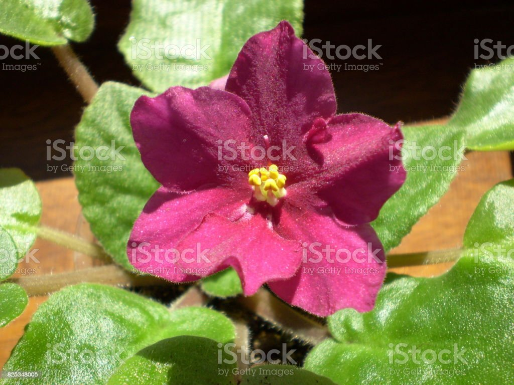 Photography of red Saintpaulia flower with green leafs stock photo