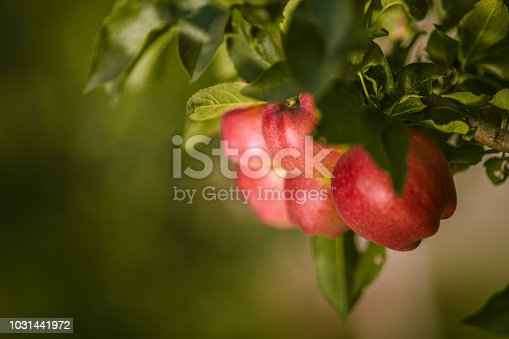 istock Photography of ripe red apples hanging in the tree, ready to be picked, with a beautiful blurred background 1031441972