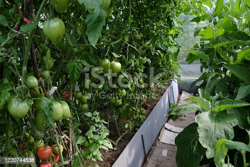 Photo of greenhouse with a lot of tomato plants. Greenery interior. Orangery with place for growing green vegetables, inner view.
