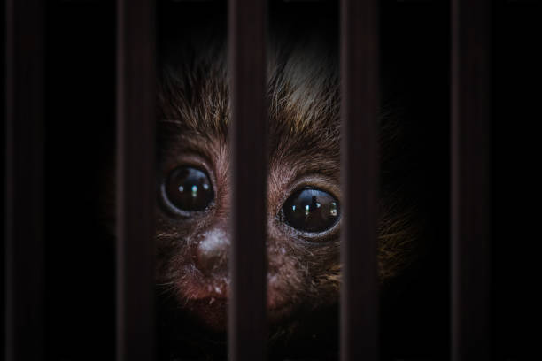 Photomontage of young monkey inside a wooden cage Photomontage of young monkey inside a wooden cage smuggling stock pictures, royalty-free photos & images