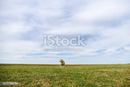 Photos of a grazing flock of sheep and individual sheep near the German North Sea on a dike. High resolution photographed on the day with copy space