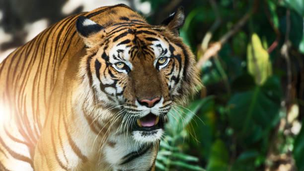 Photos of tiger naturally. stock photo