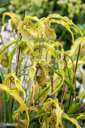 Yellow Phragmipedium caudatum orchid flower