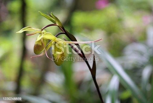 Phragmipedium Longifolium orchid in from Monteverde Orchid Garden in Monteverde, Puntarenas, Costa Rica.