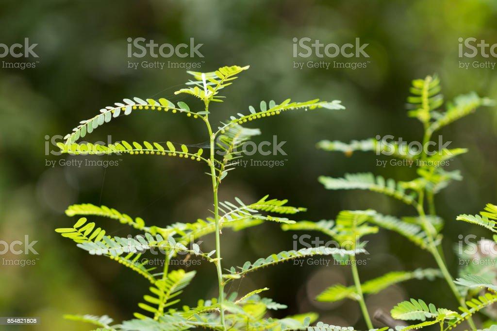 Phyllanthus niruri common name