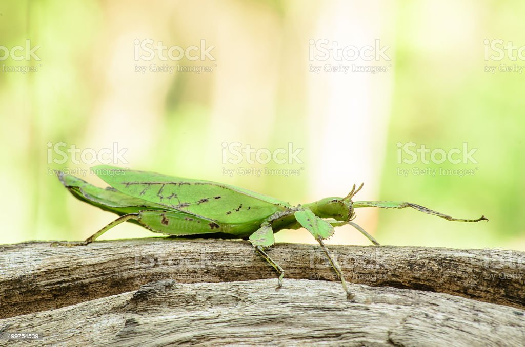 Phyllium giganteum, leaf insect walking leave royalty-free stock photo