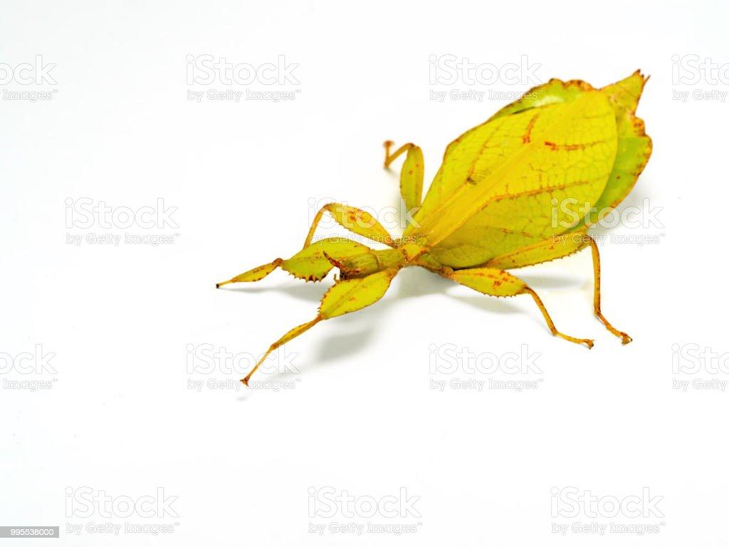 35091c5e2b3 Photo libre de droit de Phyllium Philippinicum Aka Feuille Insecte ...
