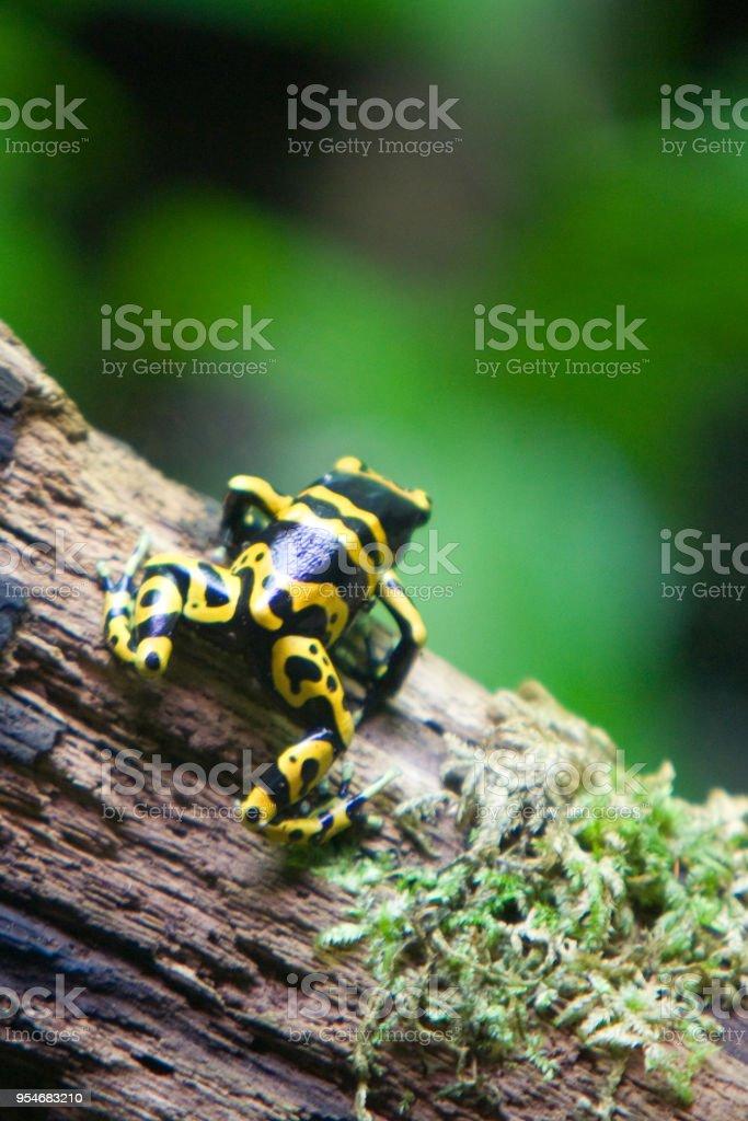 Phyllobates terribilis - Rana dorata - foto stock