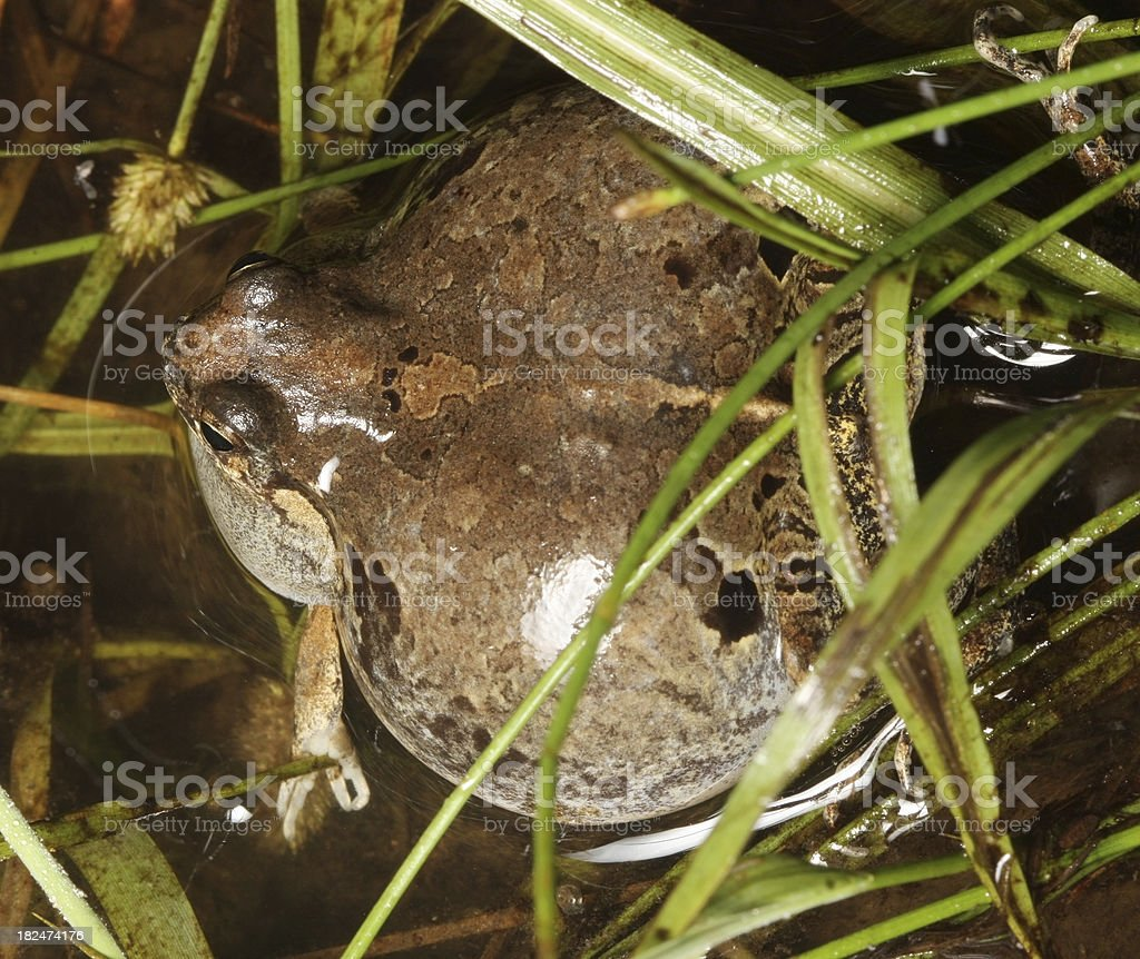 Physalaemus biligonigerus royalty-free stock photo