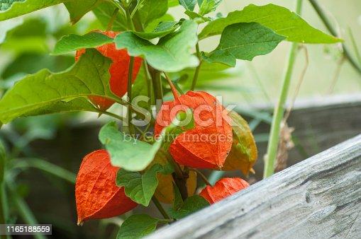 closeup of physalis in a wooden pot in a pubic garden