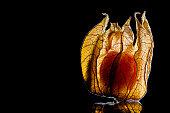 Physalis fruit isolated on black background