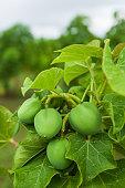 Physic nut, Purging nut or Barbadose nut (Jatropha curcas L.) agriculture farming, fruitage in the trees. Vegetable oil refining, vegetable oil fuel. Biofuel. Landscape farming.