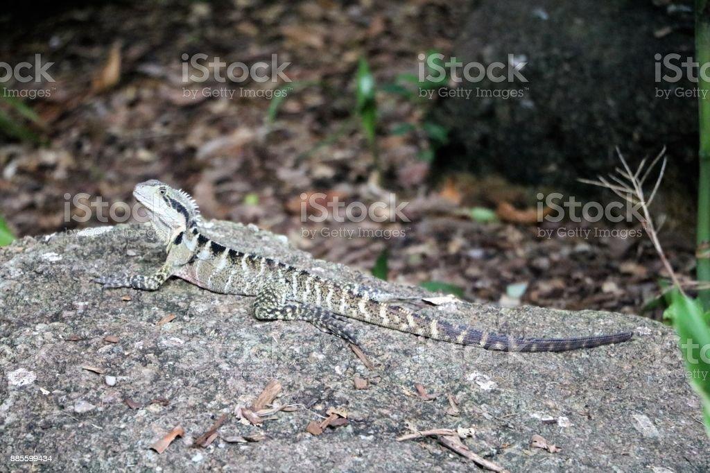 Physignathus lesueurii in Brisbane City Botanic Gardens, Queensland Australia stock photo