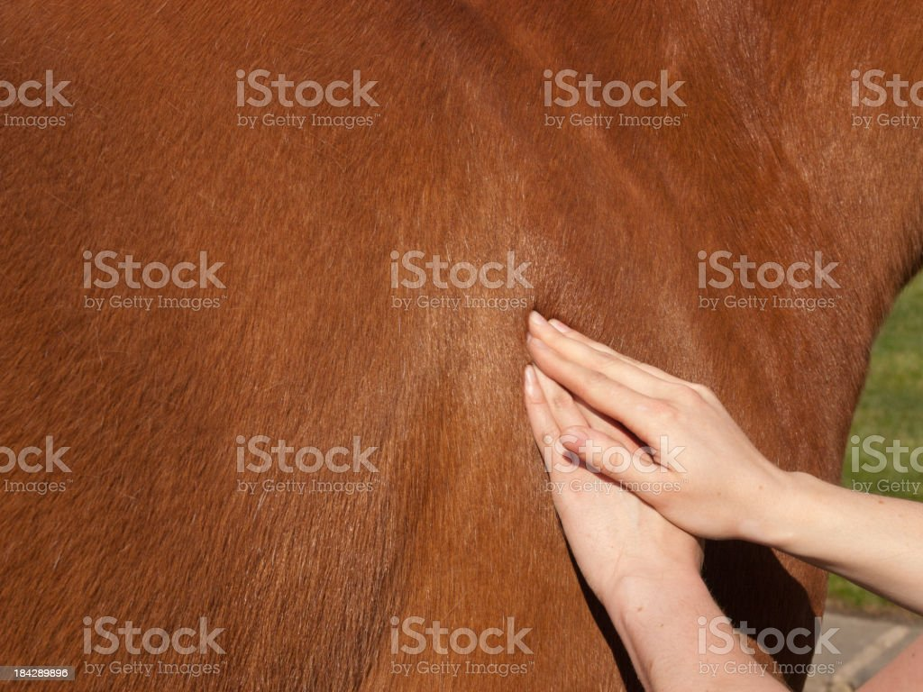 Physiotherapy for a horse stock photo