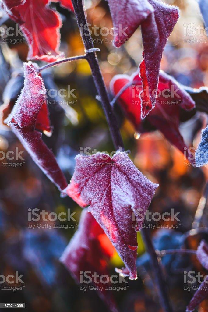Physocarpus in frost stock photo
