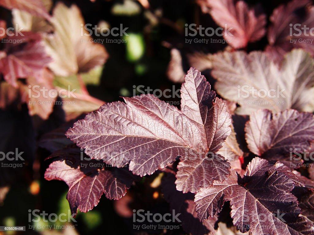 Physocarpus opulifolius 'Diabolo' stock photo