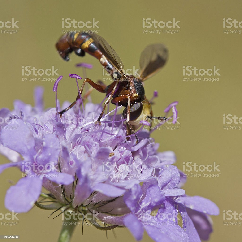 Physocephala vittata royalty-free stock photo