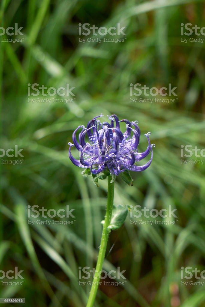 Phyteuma orbiculare stock photo