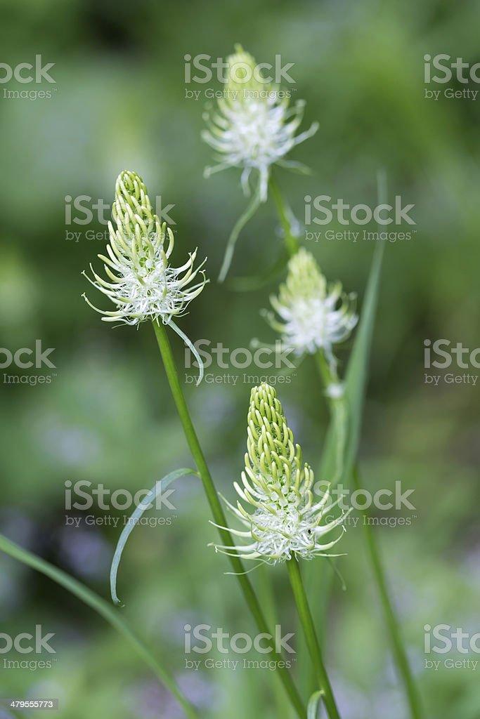Phyteuma spicatum flowers, closeup stock photo