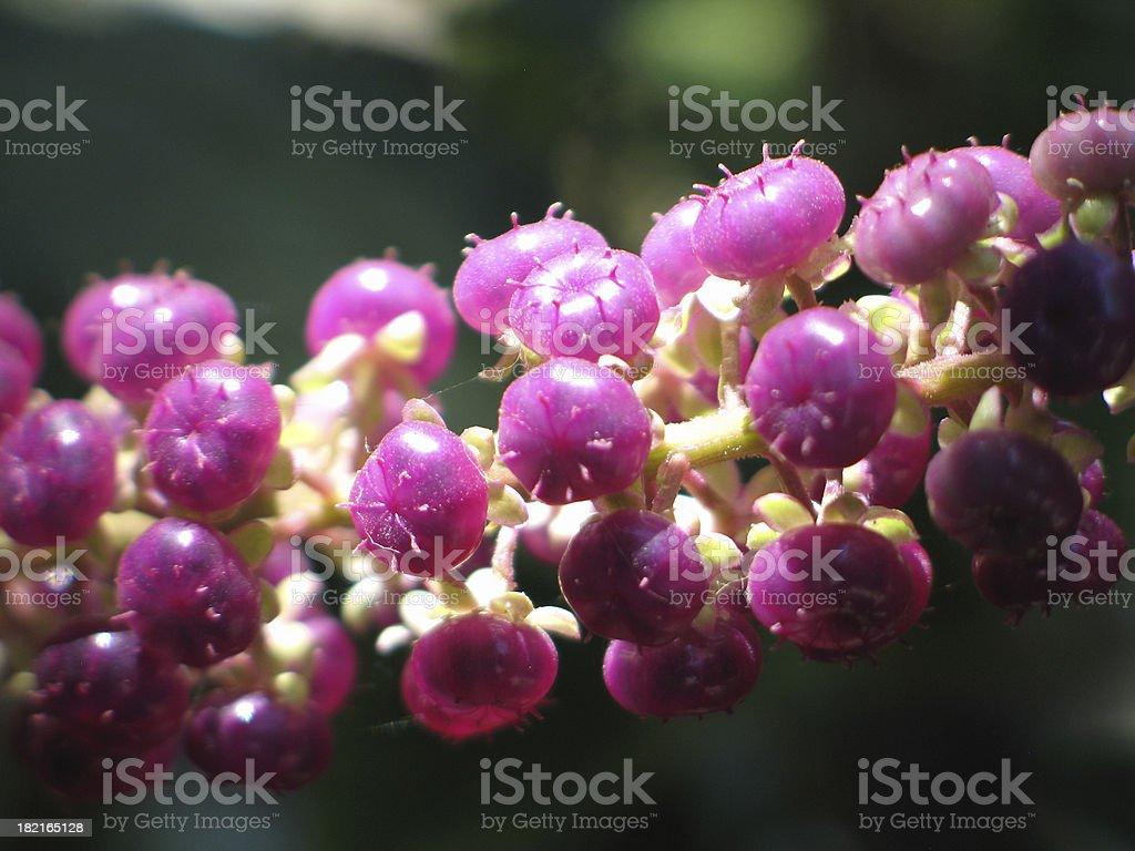 Phytolacca  americana berries royalty-free stock photo