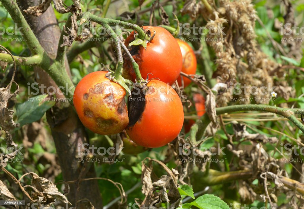Phytophthora infestans is an oomycete that causes the serious tomatoes disease known as late blight or potato blight. stock photo