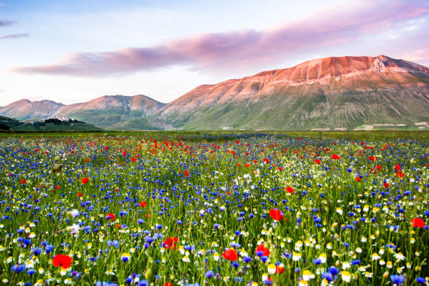 Piana Grande, Castelluccio di Norcia, Umbria, Italy. Flowering Landscape stock photo