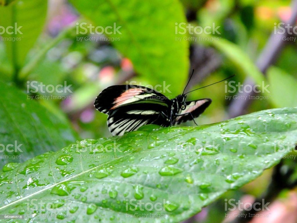 Piano Key Butterfly - Royalty-free Animal Antenna Stock Photo