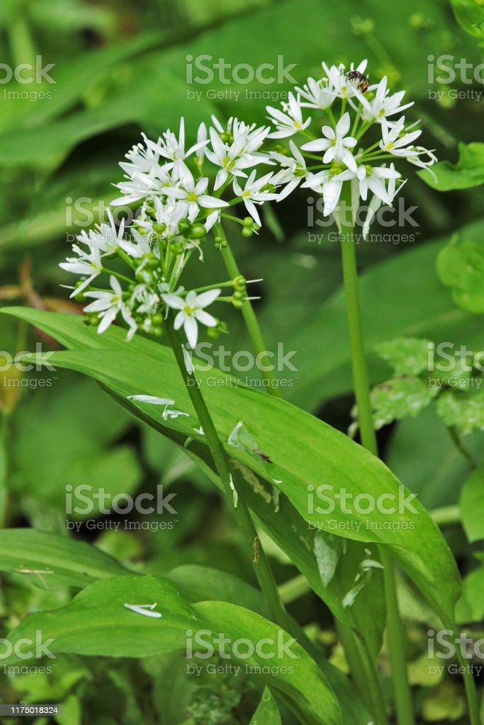 Pianta Fiori Bianchi.Pianta E Fiori Bianchi Di Aglio Orsino Allium Ursinum Stock Photo