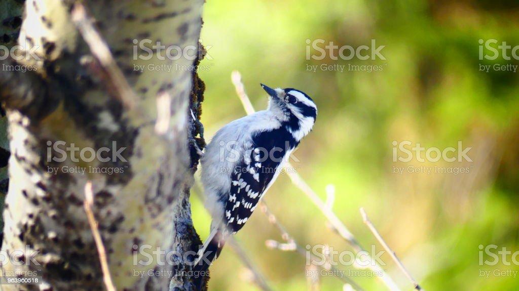 Pic mineur femelle sur un tronc d'arbre - Royalty-free Animal Themes Stock Photo