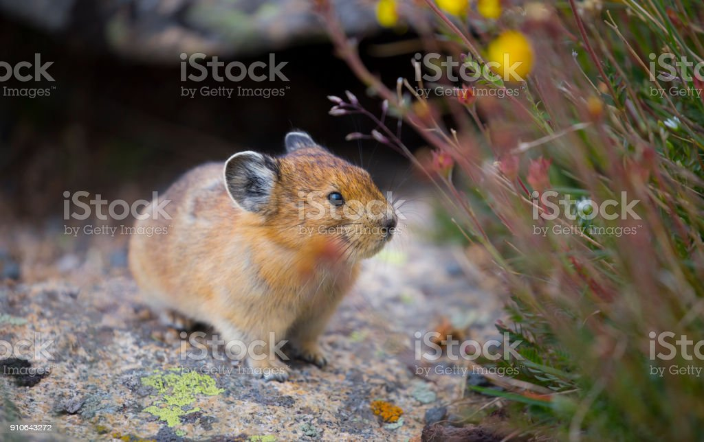 Pica and Flowers stock photo
