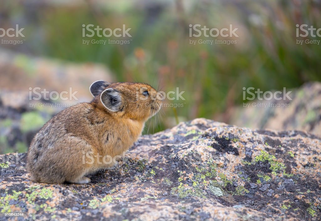 Pica in the high mountain tundra stock photo