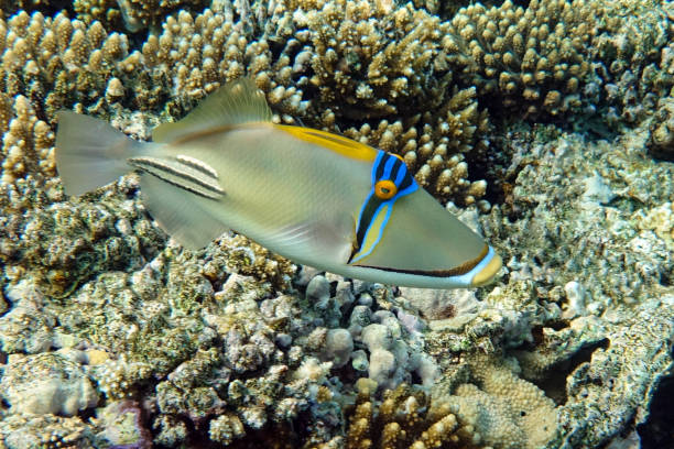 Picasso triggerfish (Rhinecanthus aculeatus) , coral fish on the coral reef. stock photo