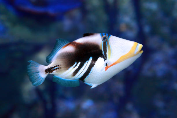 Picasso triggerfish (Rhinecanthus aculeatus) marine fish stock photo